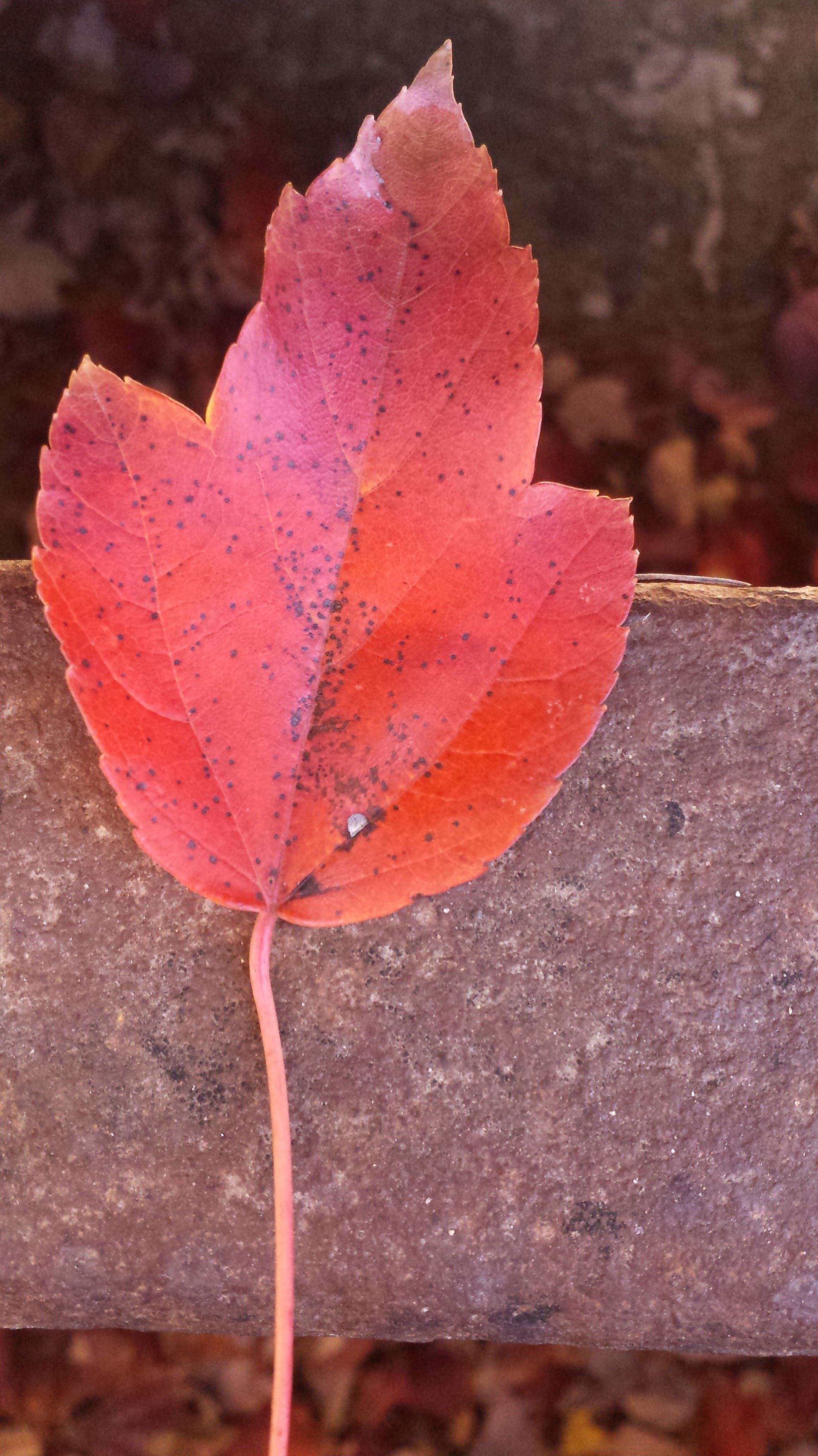 Free stock photo of autumn leaf, fall, fallen leaves