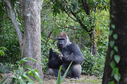 Darmowe zdjęcie z galerii z drzewa, goryl, natura