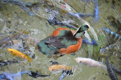 Darmowe zdjęcie z galerii z coy fish, kaczka, kolorowe ryby, staw ogrodowy