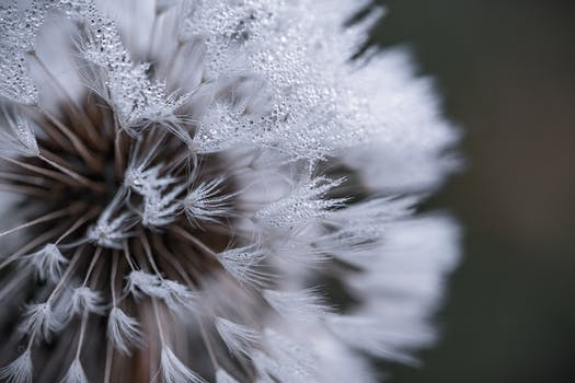 White dandelion flower in close up photograph free stock photo auto focus photography of white flower mightylinksfo Images