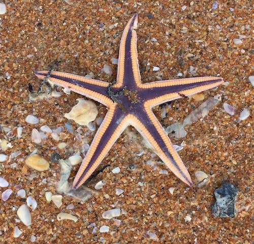 Free stock photo of marine life, sea life, starfish