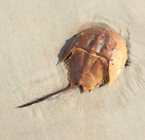 Free stock photo of horseshoe crab, marine life, ocean