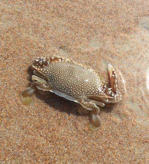 Free stock photo of crab, marine life, sea life