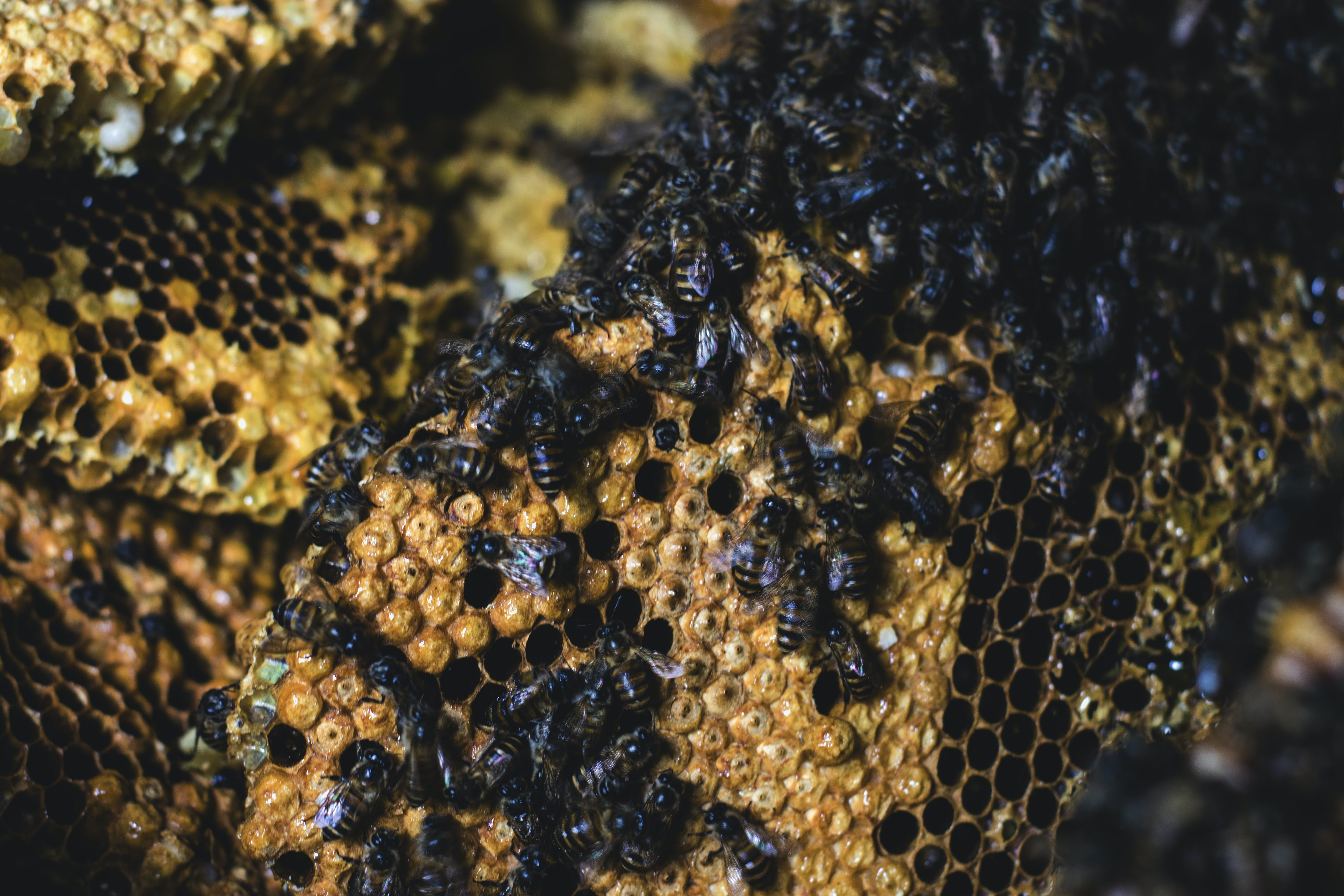 Free stock photo of animal, bee, bee pollen