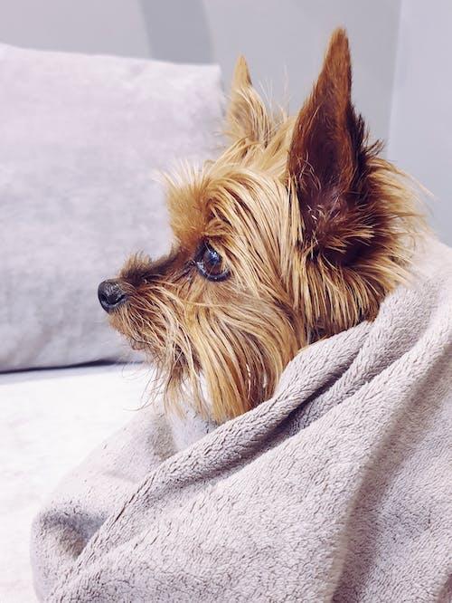 Fotobanka sbezplatnými fotkami na tému dom, domáce zvieratá, jorkšírsky teriér, pes