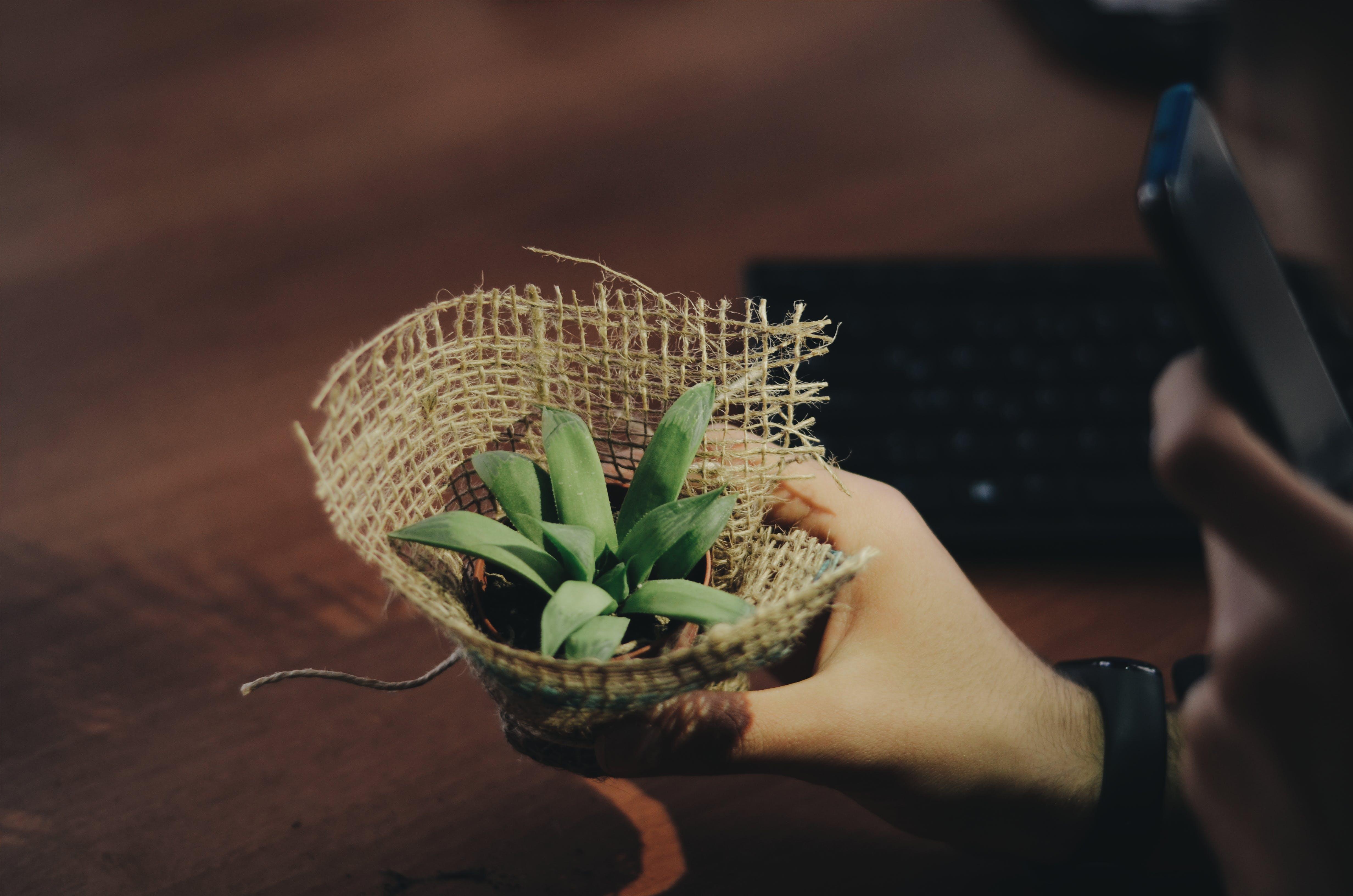 Základová fotografie zdarma na téma držení, flóra, hrnková rostlina, pokojová rostlina