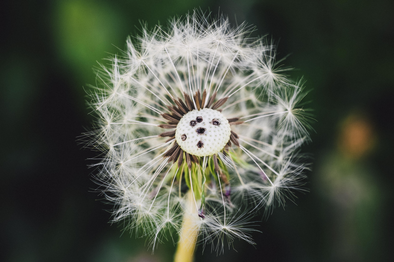 Dandelion Flower Close Up Photography