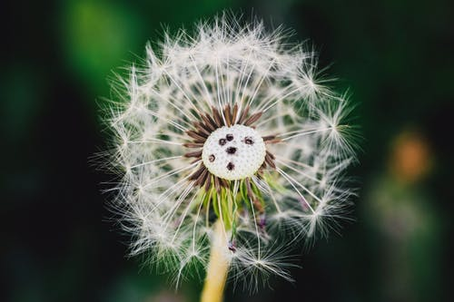 Free stock photo of bloom, blossom, close-up, dandelion
