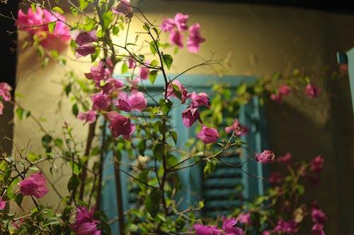 Free stock photo of beautiful flowers, bush, flowers, Israel