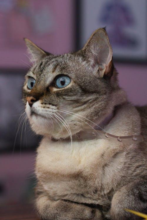 Fotobanka sbezplatnými fotkami na tému bicolor cat, biela mačka, fúz, mačacia tvár