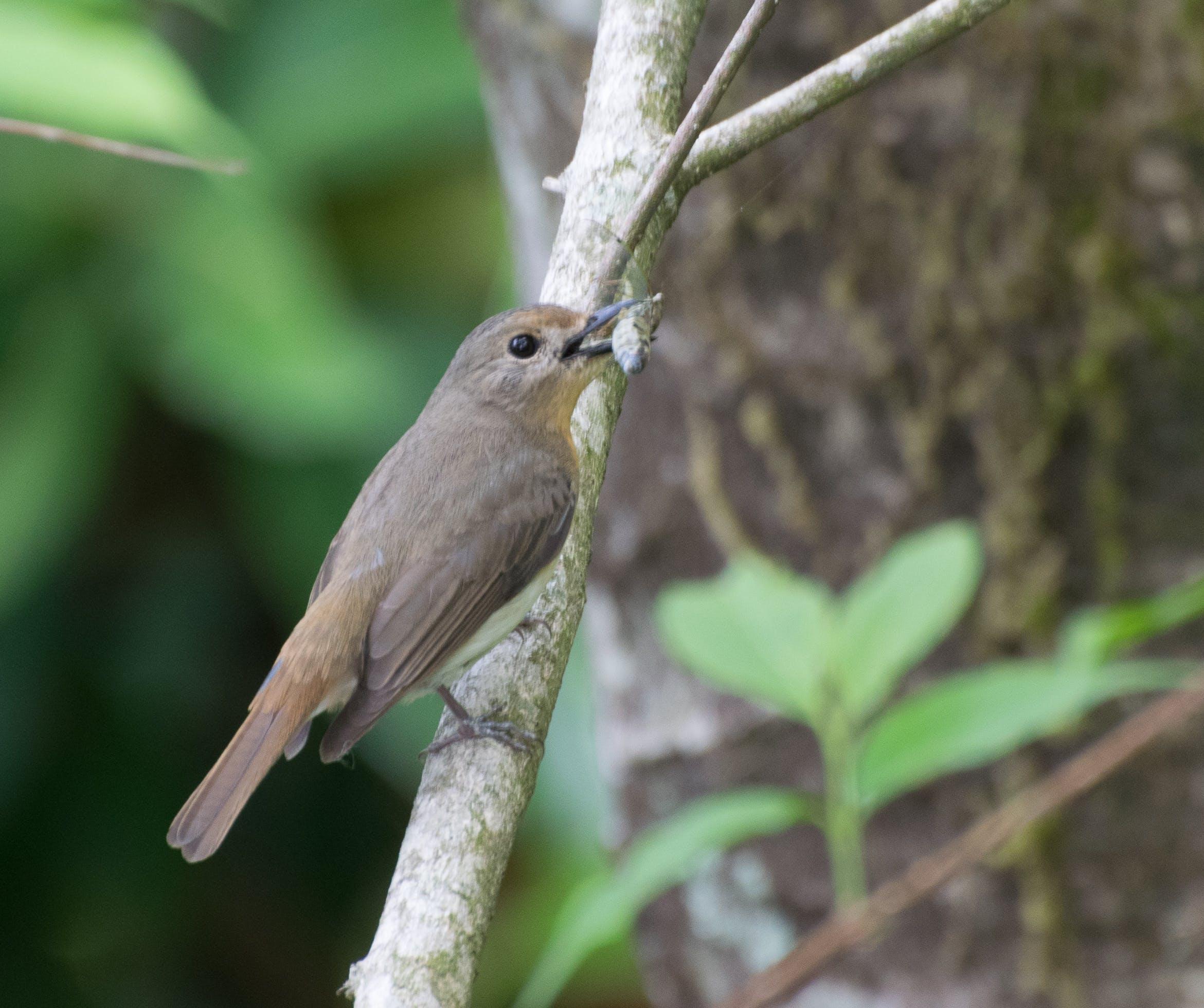 Kostenloses Stock Foto zu dunkler mit seitenschnäpper mit kill, flycatcher, natur, tierwelt