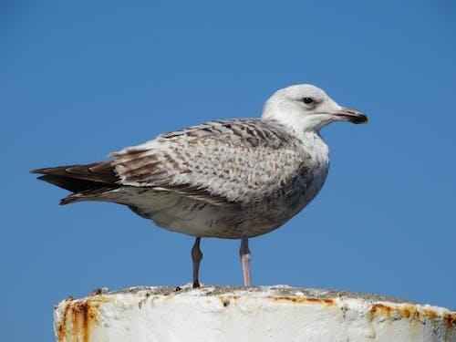 Free stock photo of bird, Oudeschild, seagull