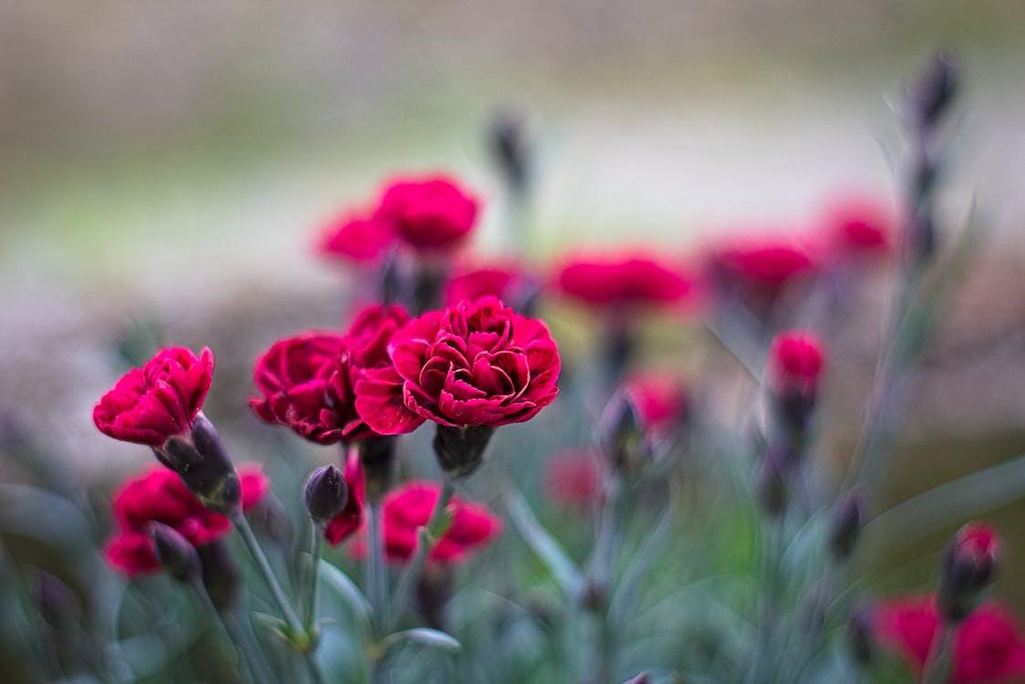 blomster, rød blomst, røde blomster