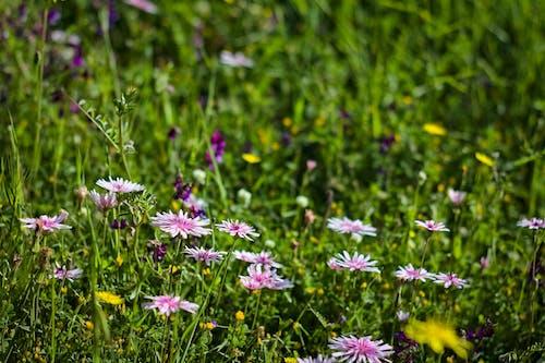 Kostenloses Stock Foto zu frühlingsblumen, pinke blumen, schöne blumen