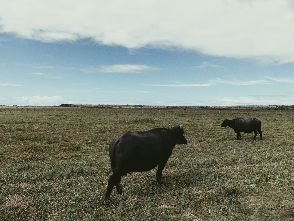 Black Water Buffaloes on Field