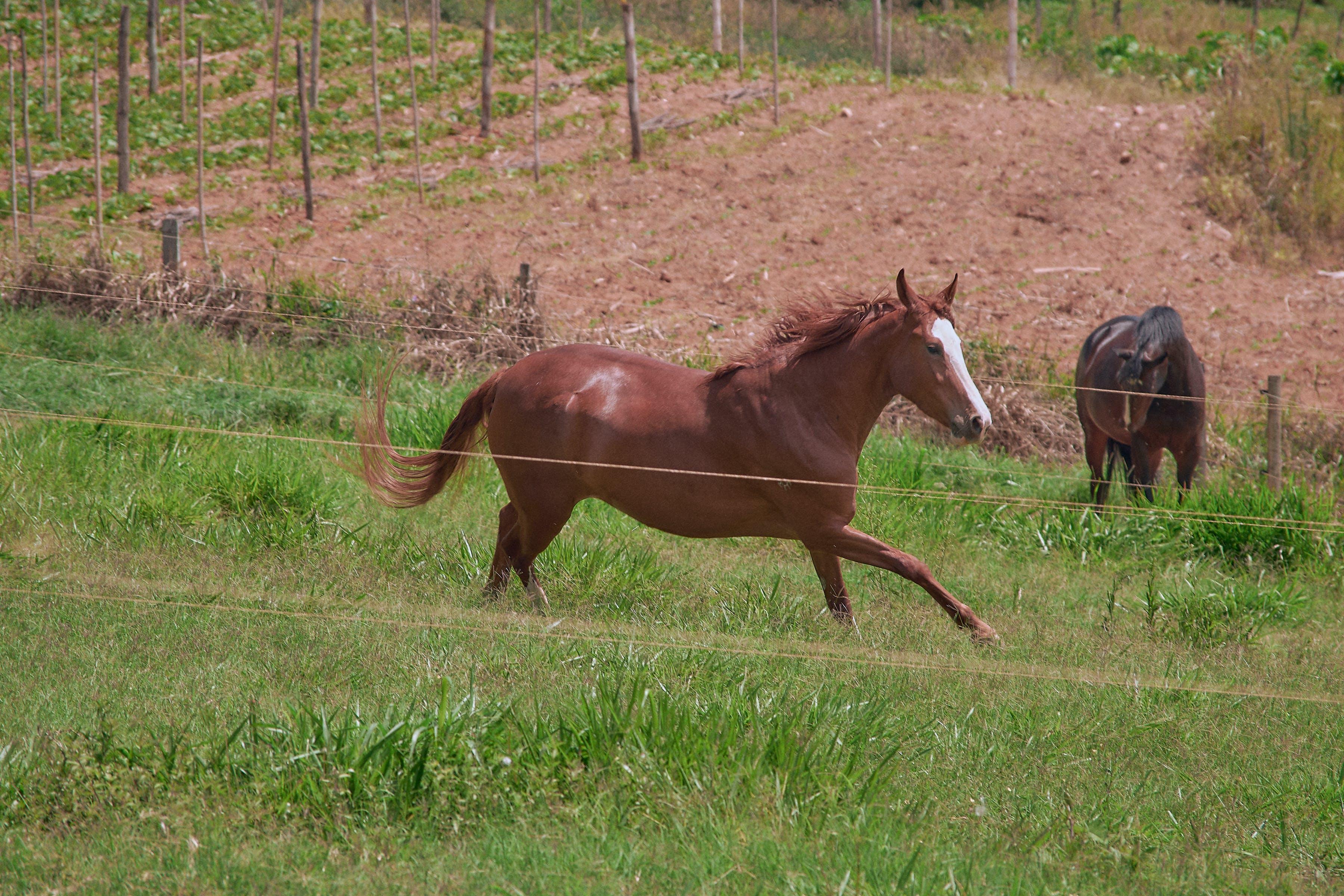 Kostenloses Stock Foto zu cavalo, cavalos, natureza