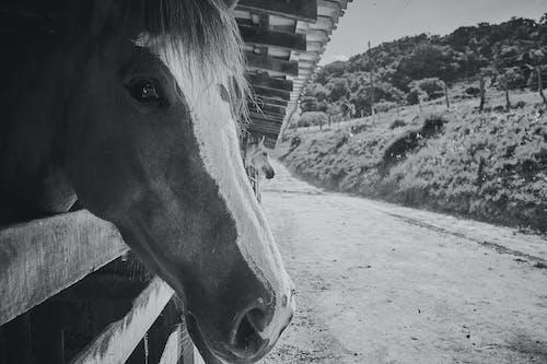 Kostenloses Stock Foto zu cavalo, estábulo, preto e branco