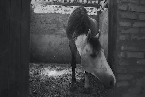Kostenloses Stock Foto zu cavalo, cavalo branco, estábulo, preto branco