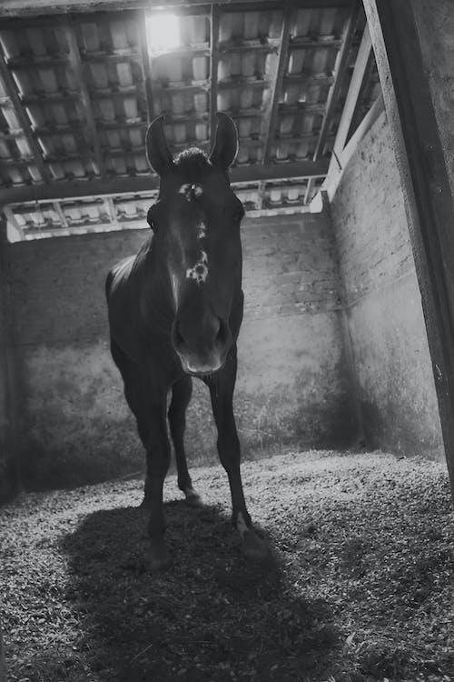 Kostenloses Stock Foto zu andar a cavalo, cavalo, estábulo, preto e branco