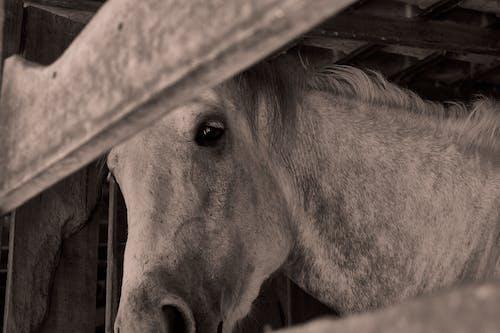Kostenloses Stock Foto zu cavalo, estábulo