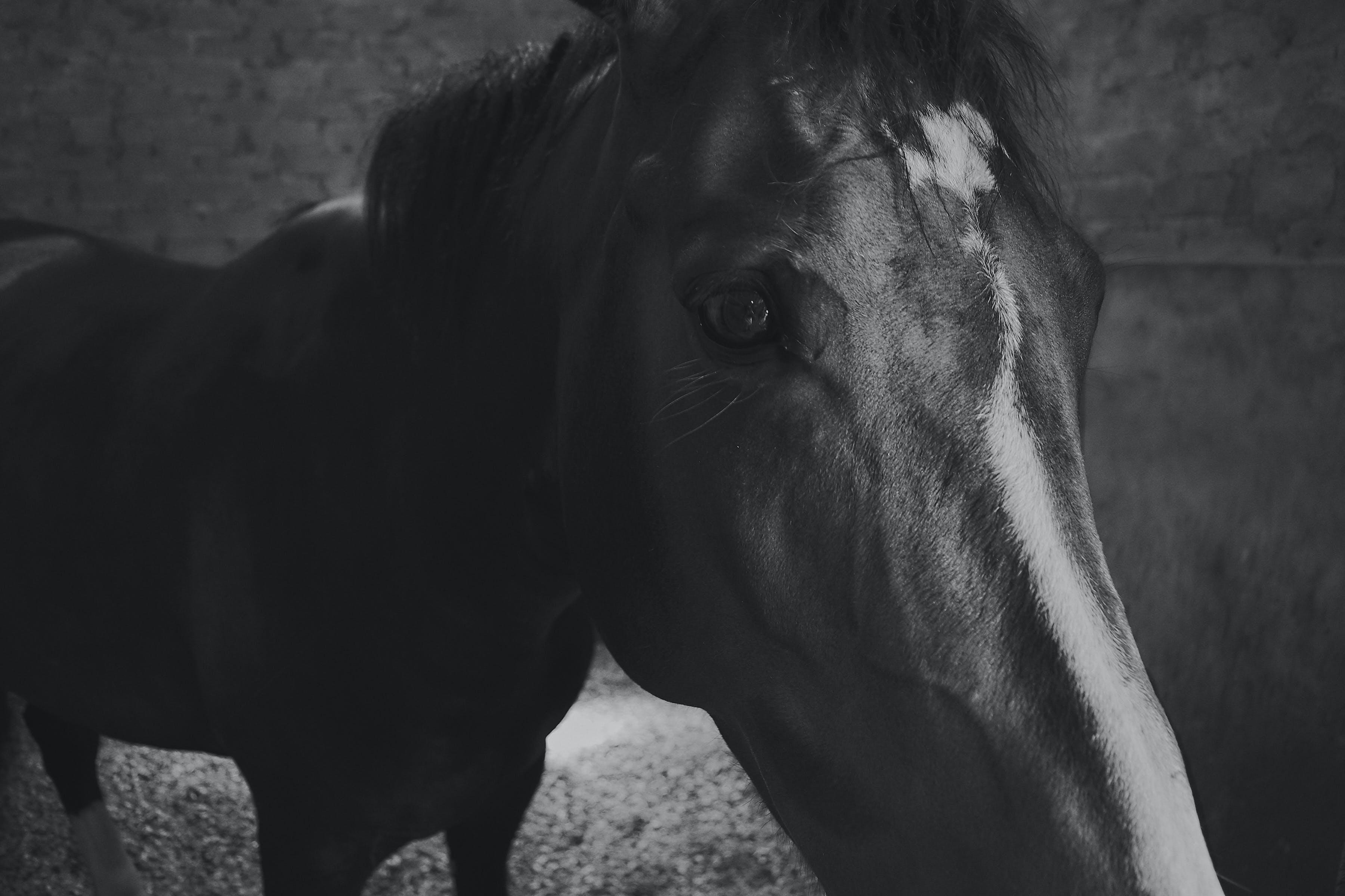 Kostenloses Stock Foto zu cavalo, preto branco, preto e branco