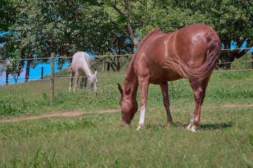 Kostenloses Stock Foto zu andar a cavalo, cavalo, cavalo branco