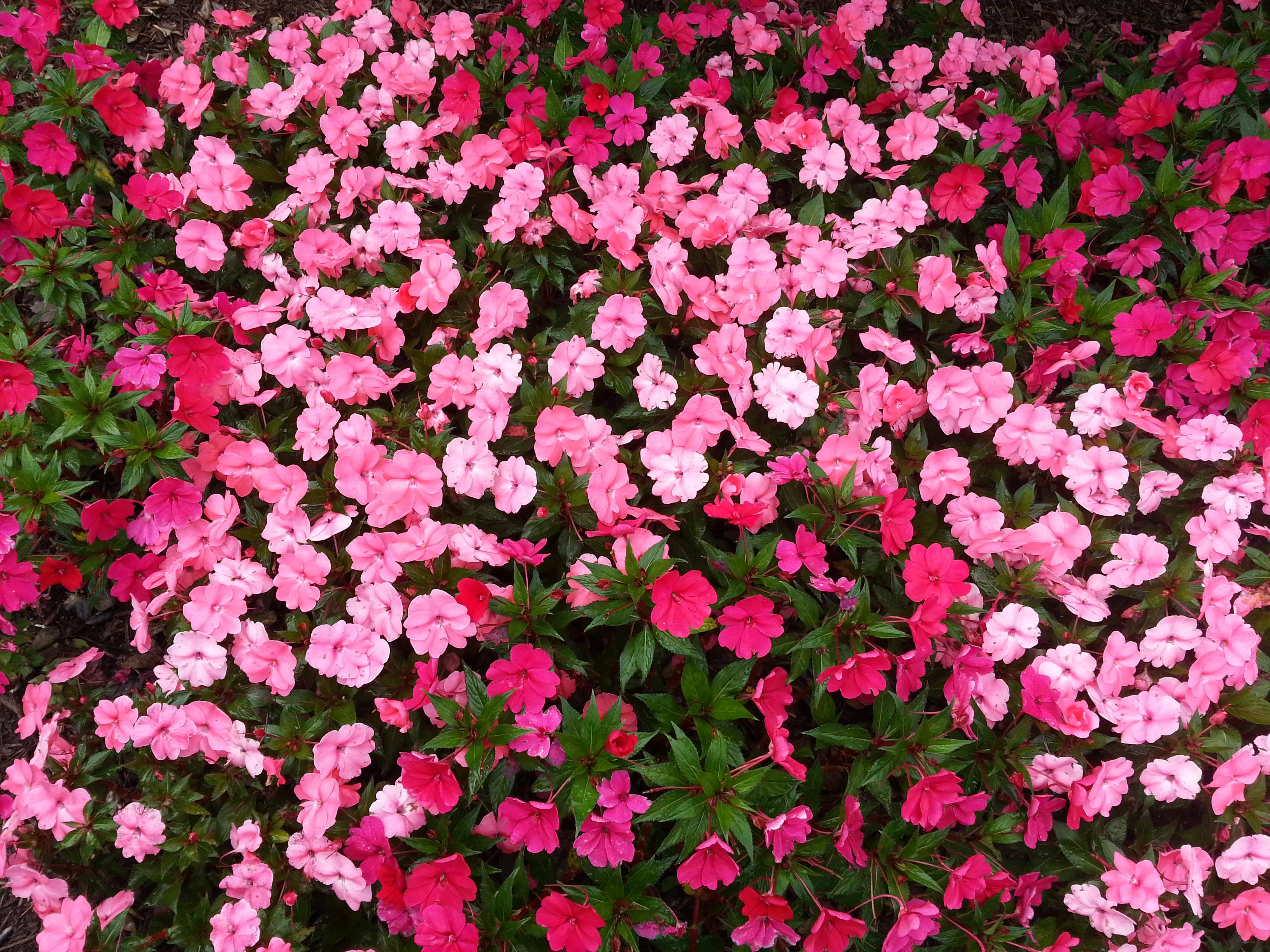 Red and Pink Petaled Flowers
