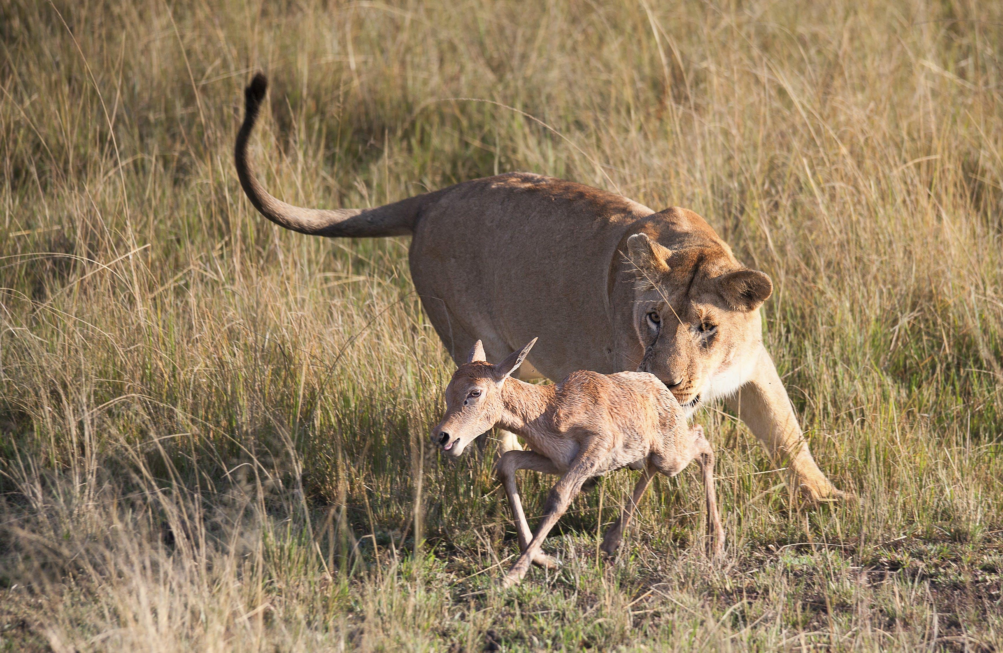 zu afrika, antilope, erfassung, fleischfresser