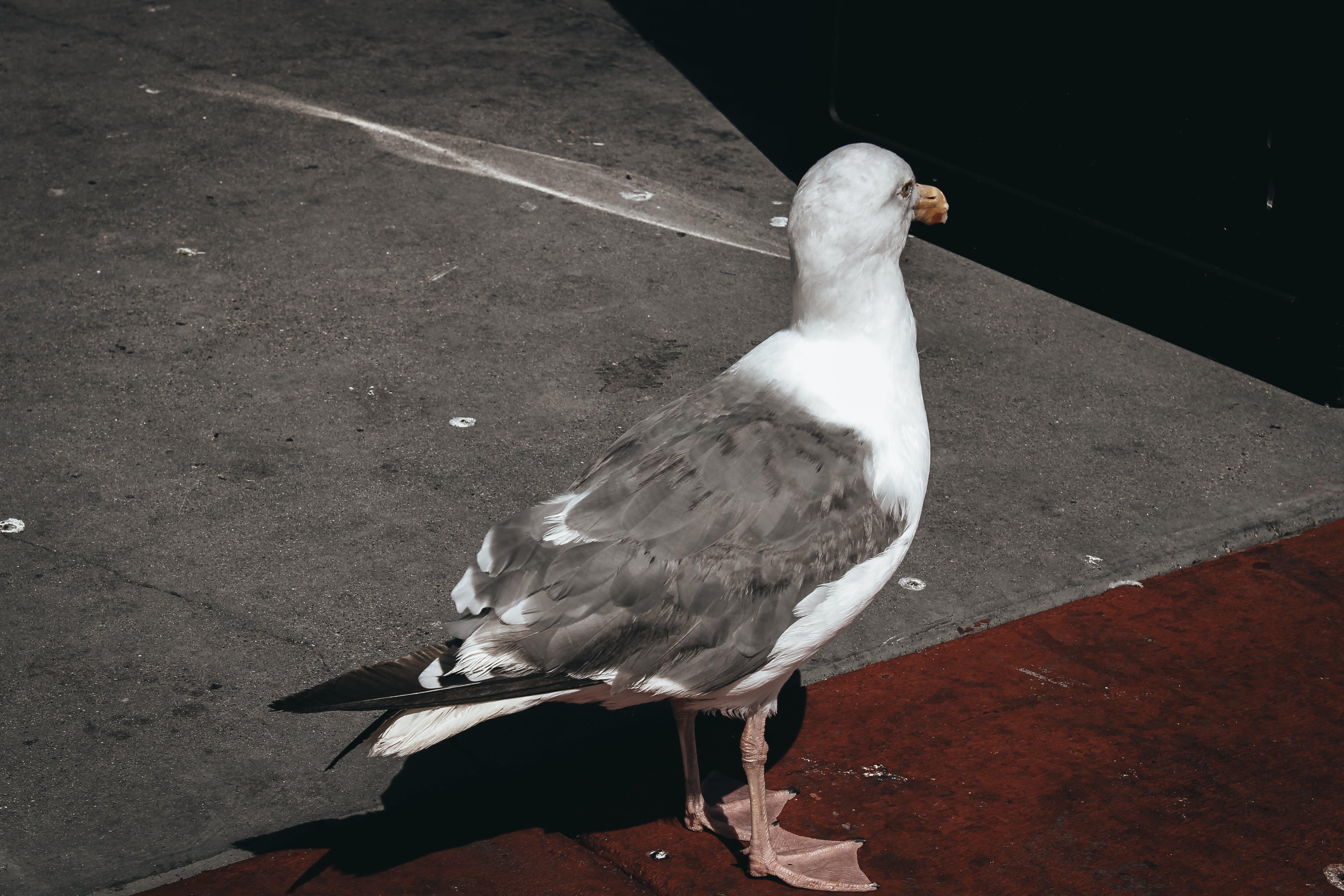 Kostenloses Stock Foto zu große schwarzrückige möwe, möwe, nahansicht, seevogel