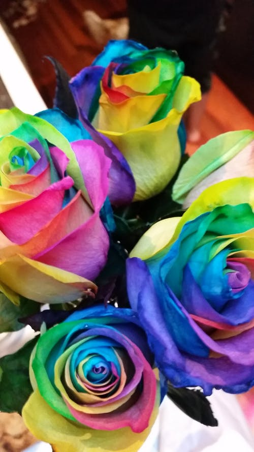 Free stock photo of Colourful flowers, Colourful roses, rainbow