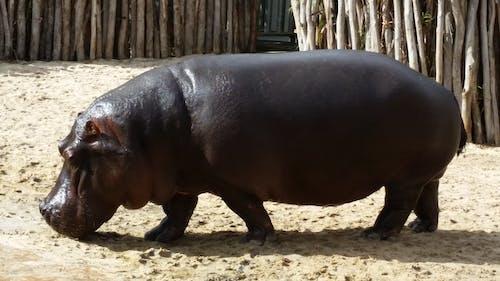 Free stock photo of animal, hippo, hippopotamus