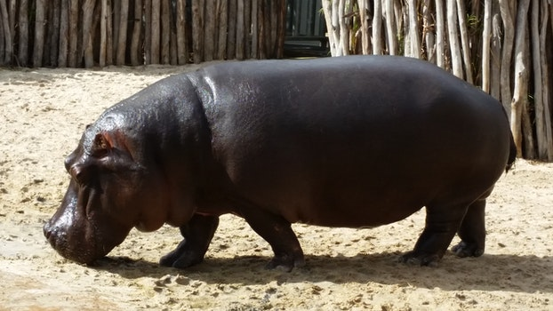 Free stock photo of animal, zoo, hippo, hippopotamus