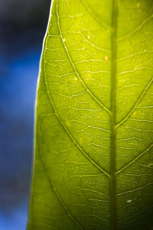 Безкоштовне стокове фото на тему «вени, зелений, лист, макрофотографія»