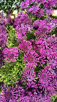 Free stock photo of flowers, australia, purple, flower