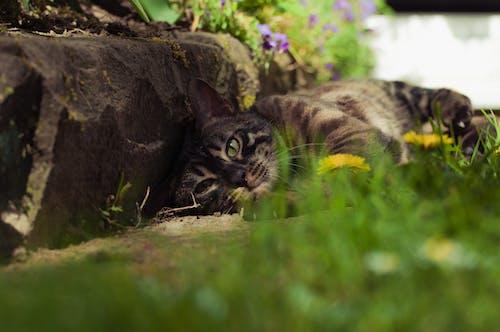 Ilmainen kuvapankkikuva tunnisteilla bengalin kissa, chillaus, eläimet, eläinkuvaus
