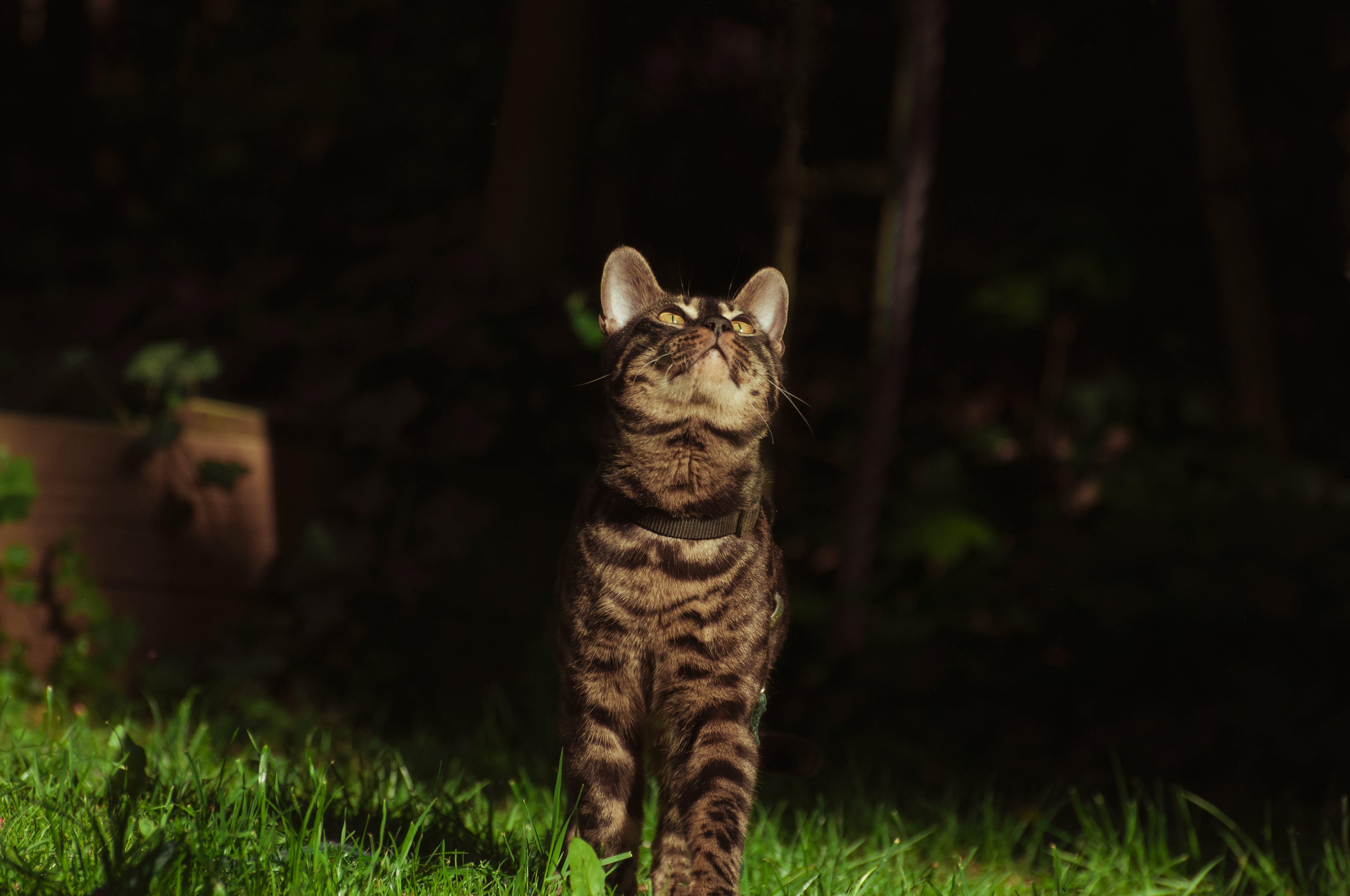 動物攝影, 好奇的, 好看, 孟加拉猫 的 免费素材照片