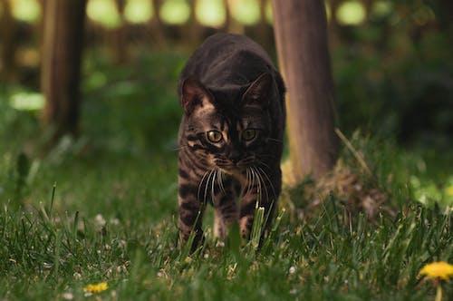 Ilmainen kuvapankkikuva tunnisteilla bengalin kissa, eläimet, eläinkuvaus, hyvännäköinen