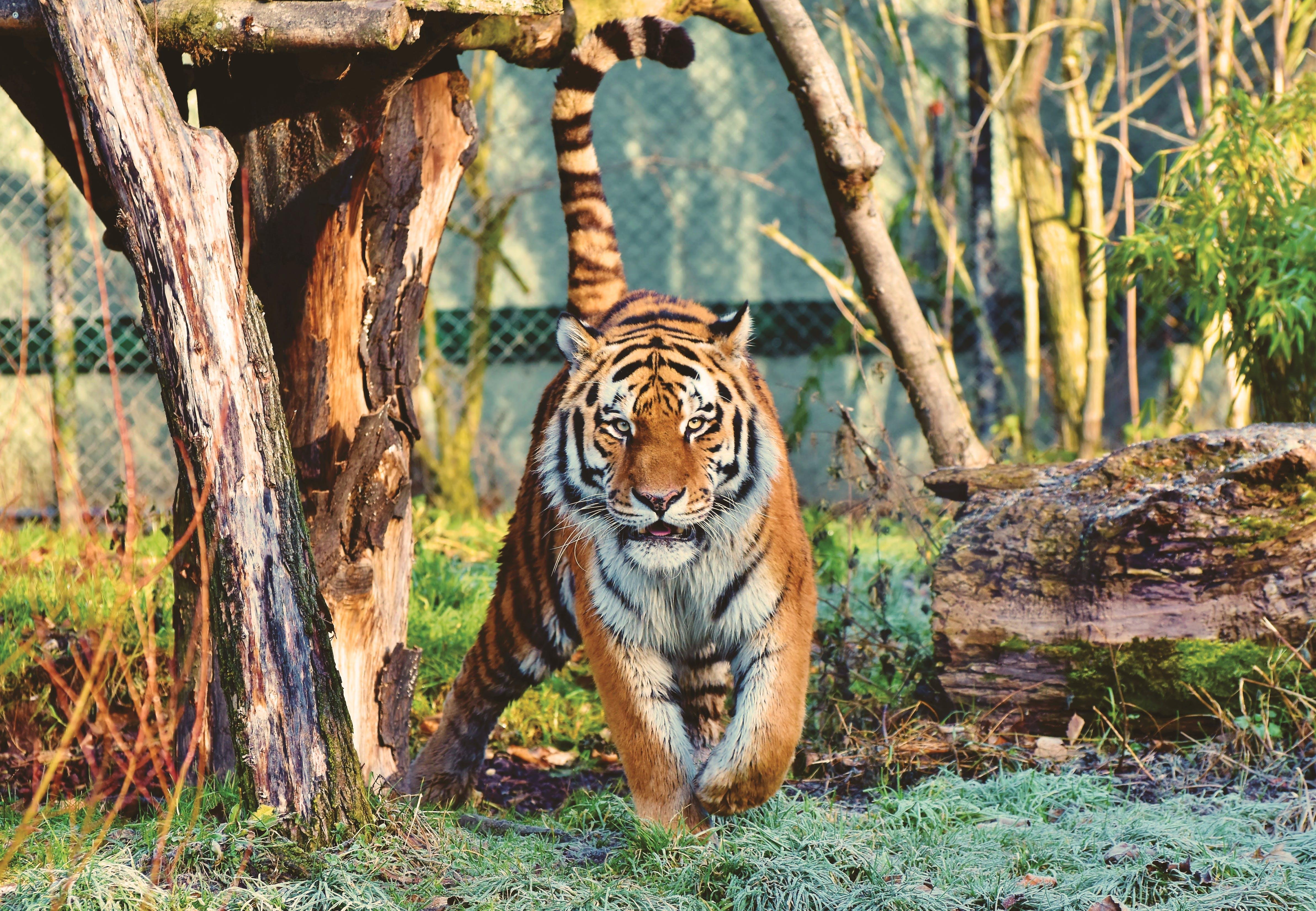 Základová fotografie zdarma na téma bengálský tygr, divočina, fotografování zvířat, masožravec