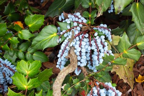 Foto d'estoc gratuïta de arbust, blau, fruita, llangardaix