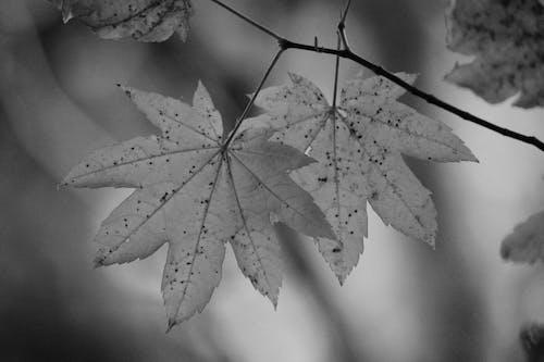 Ilmainen kuvapankkikuva tunnisteilla lehdet, luonto, mustavalkoinen, oksat