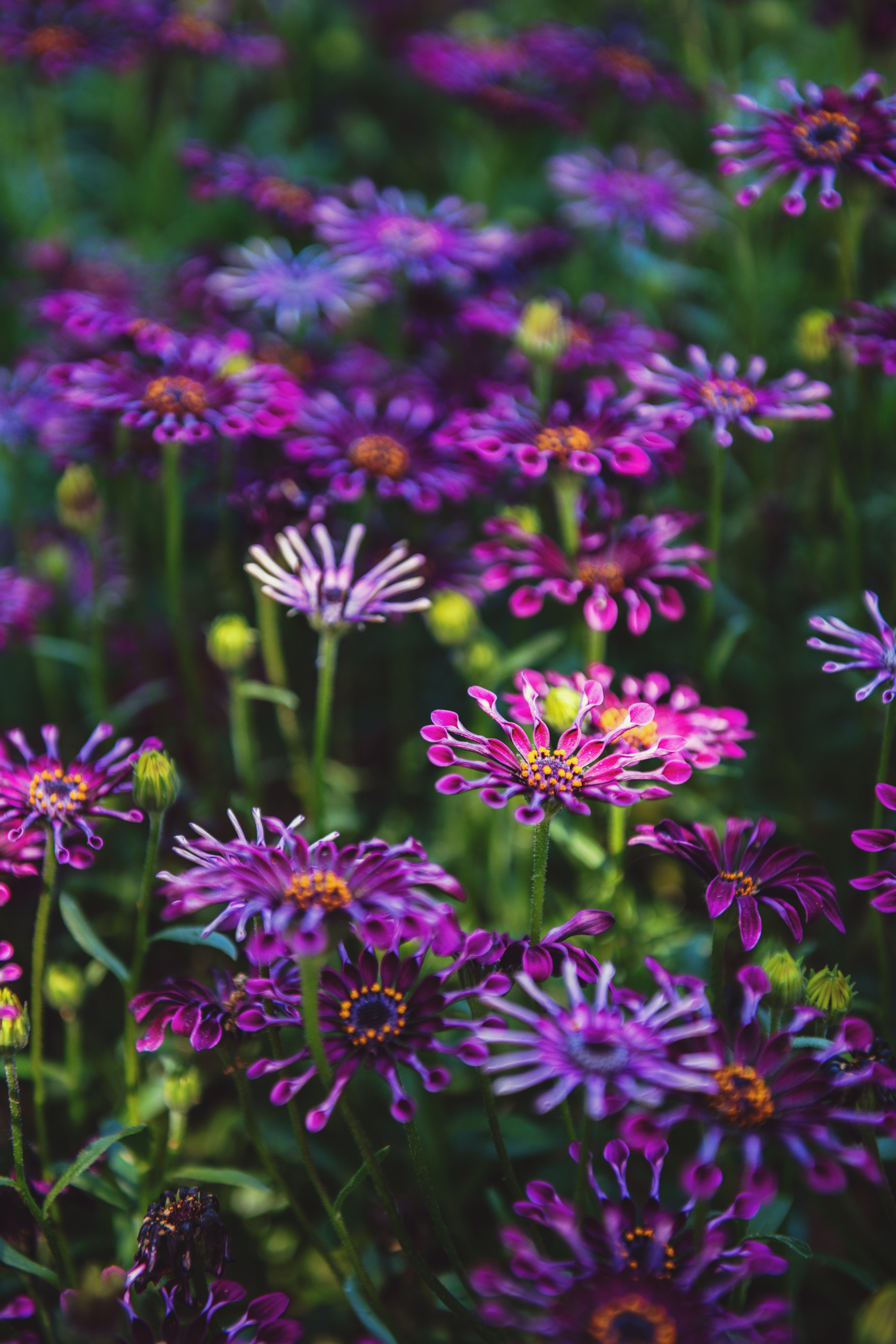 Kostenloses Stock Foto zu blumen, blüte, blütenblätter, bunt