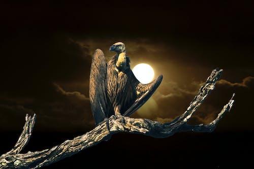 天性, 晚上, 禿鷲 的 免費圖庫相片