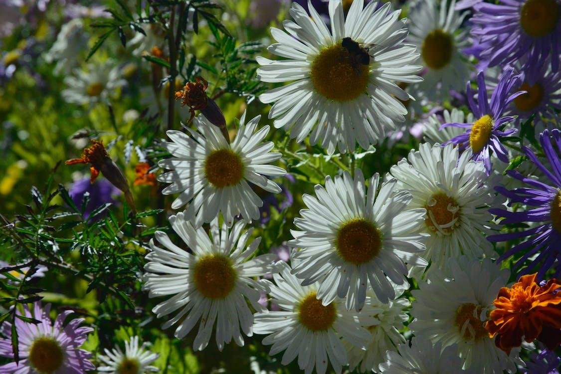 Free stock photo of white sunflower