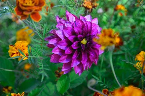 Free stock photo of chrysanthemum, purple