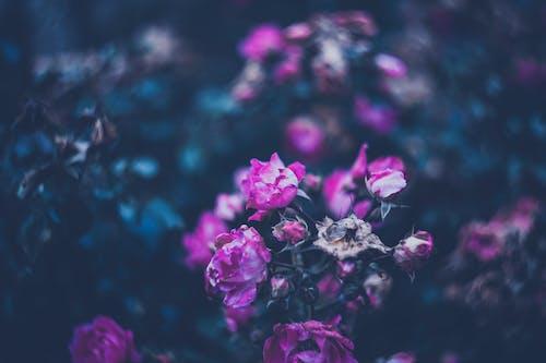 Фотография розового лепесткового цветущего растения