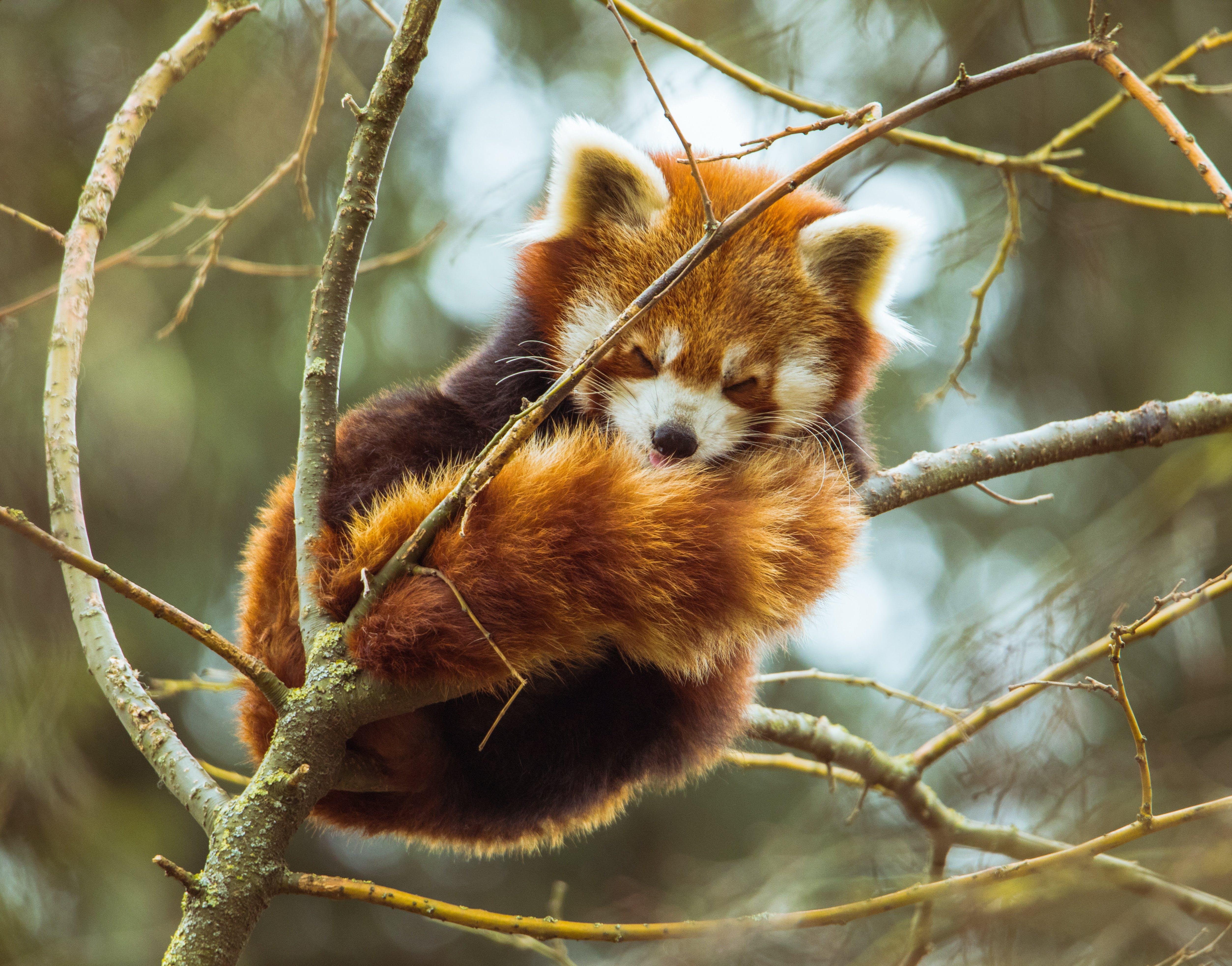 Photo of Red Panda Sleeping on Tree Branch
