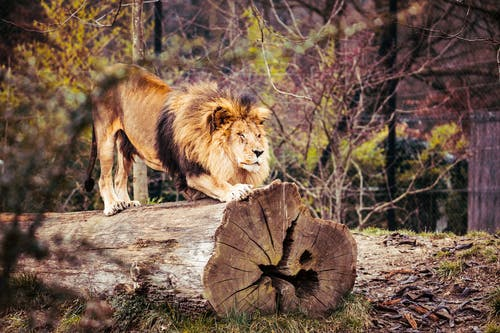 Photo of Lion On Top Of Tree Trunk
