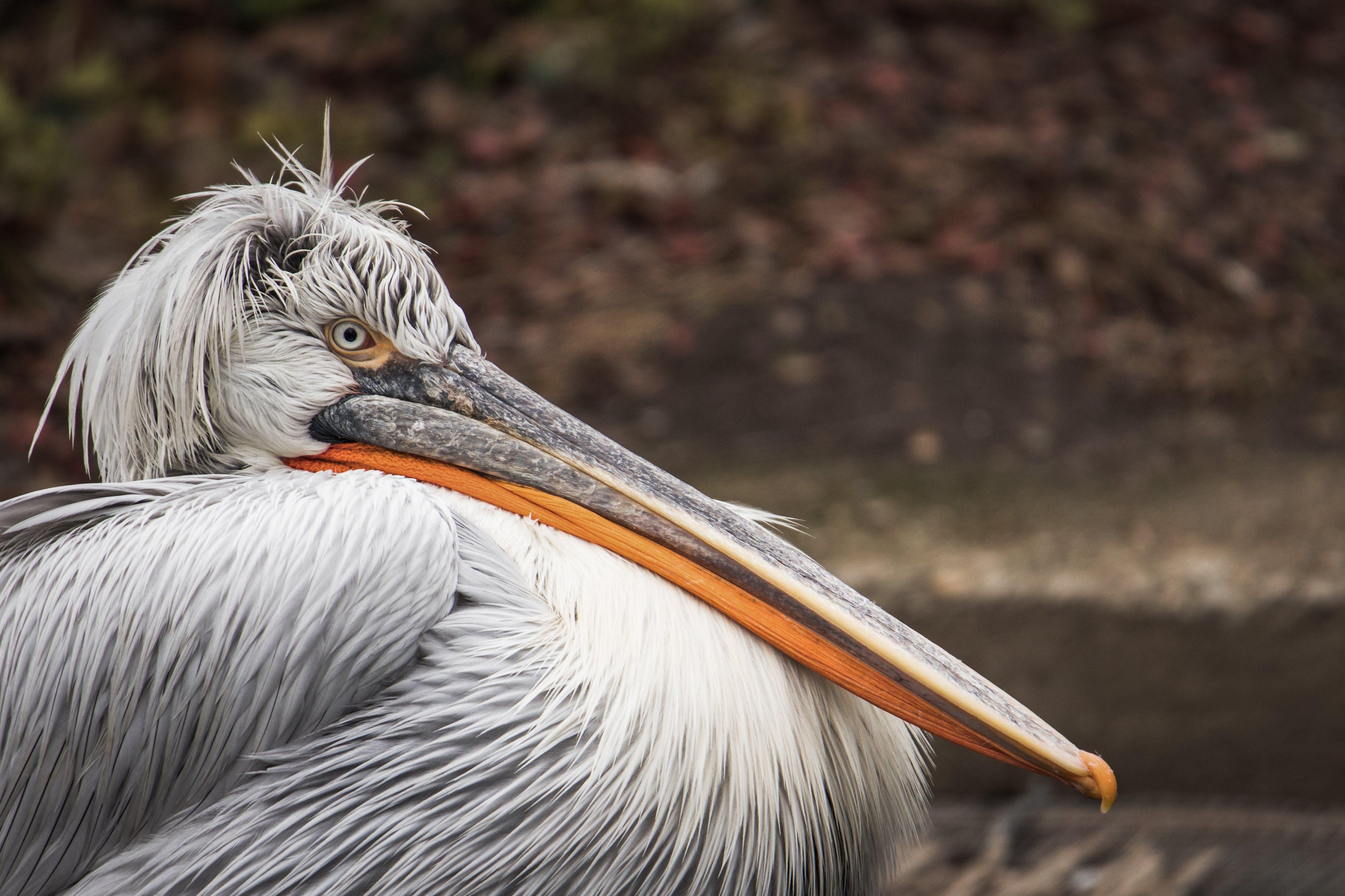 Gratis lagerfoto af close-up, dalmatiske pelikan, dyr, dyreliv