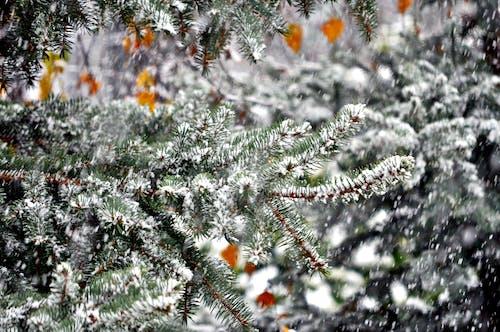 Gratis lagerfoto af grøn, hvid, sne, træ