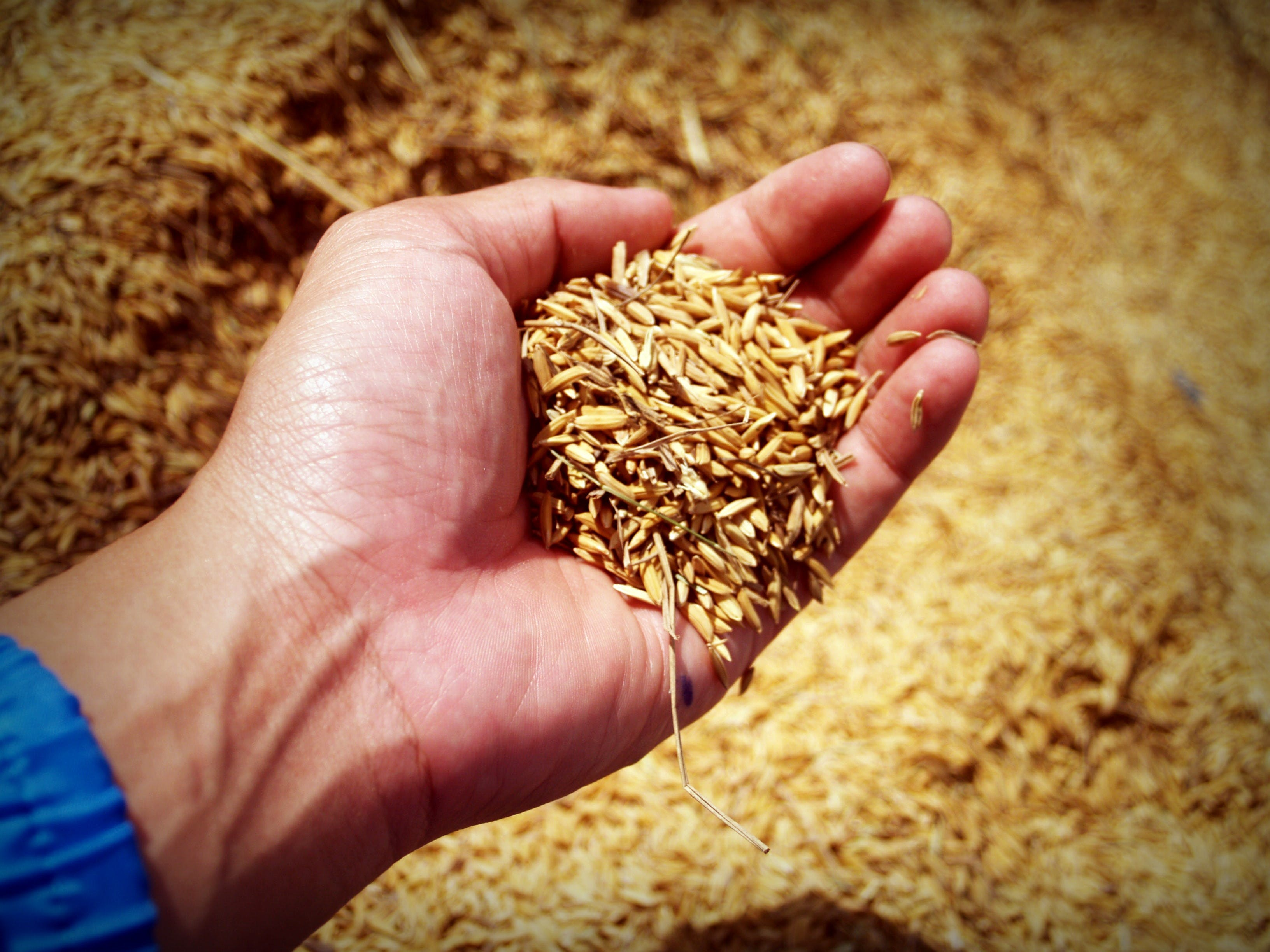 Person Holding Rice Grains